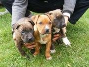 Продаються хороші щенки породи Амстафф!!!