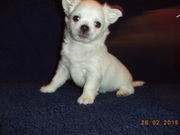 ЧИХУАХУА - кукольный,  маленький,  шустрый комочек счастья!