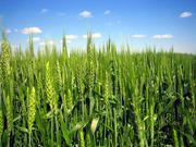 семена озимой пшеницы,  сорт