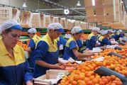 Рабочие на Сортировку Овощей в Польше